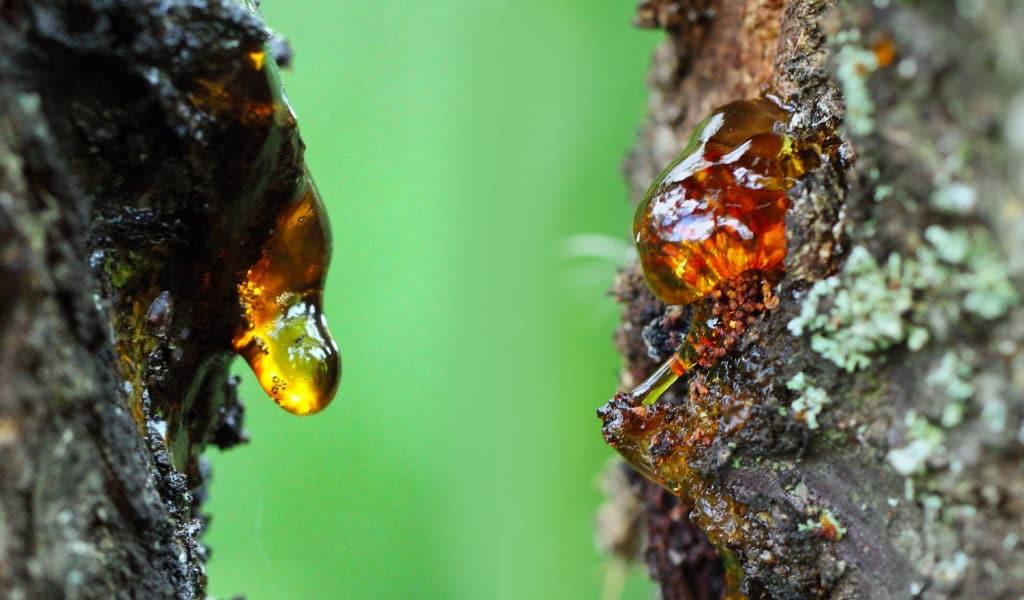 formazione dell'ambra alberi
